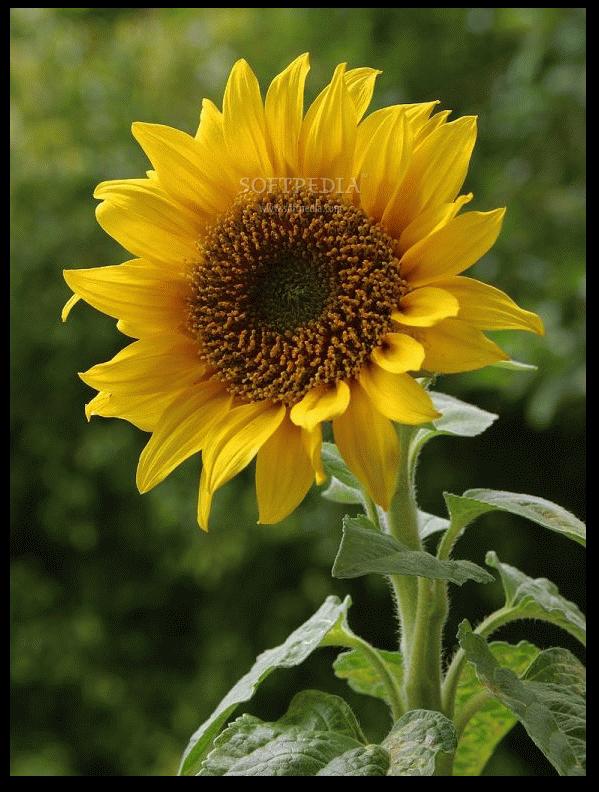 صور عباد الشمس